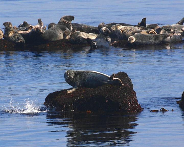 Brier_Island_Lodge-_Seals
